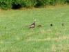 wild-turkey-three